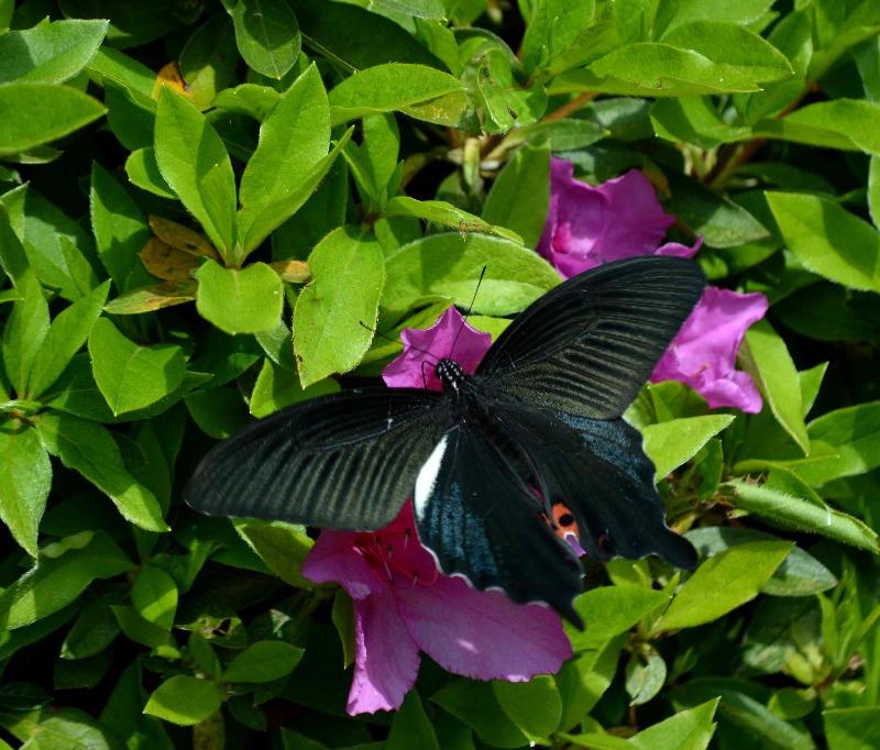 クロアゲハ 5月2日ツツジの咲く公園にて_d0254540_14504379.jpg