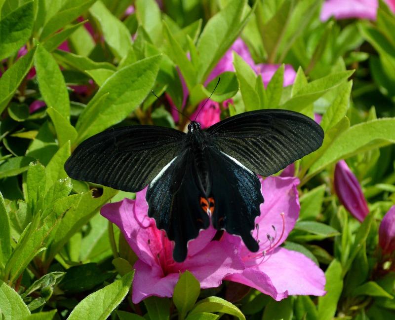 クロアゲハ 5月2日ツツジの咲く公園にて_d0254540_1450786.jpg