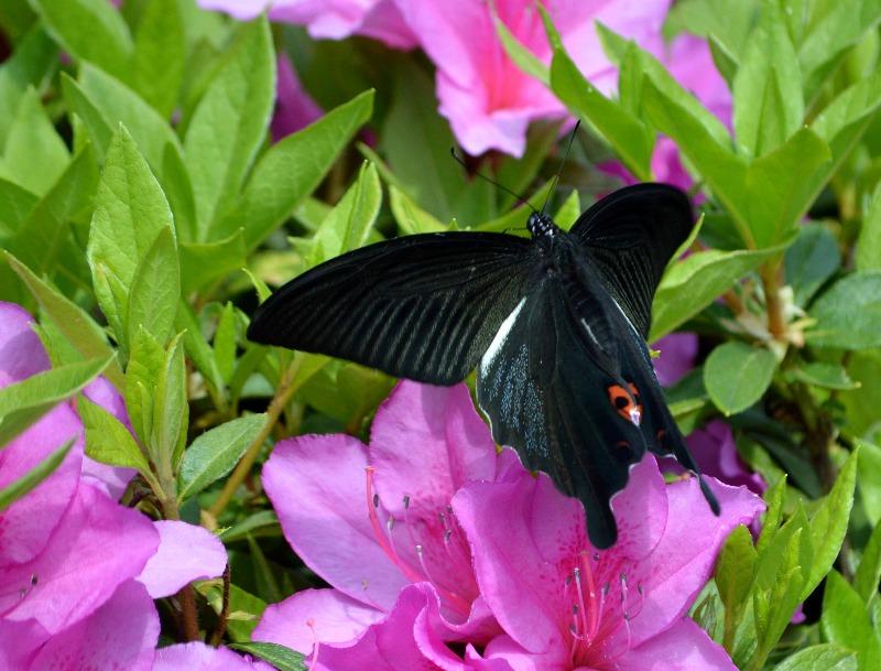 クロアゲハ 5月2日ツツジの咲く公園にて_d0254540_14514257.jpg