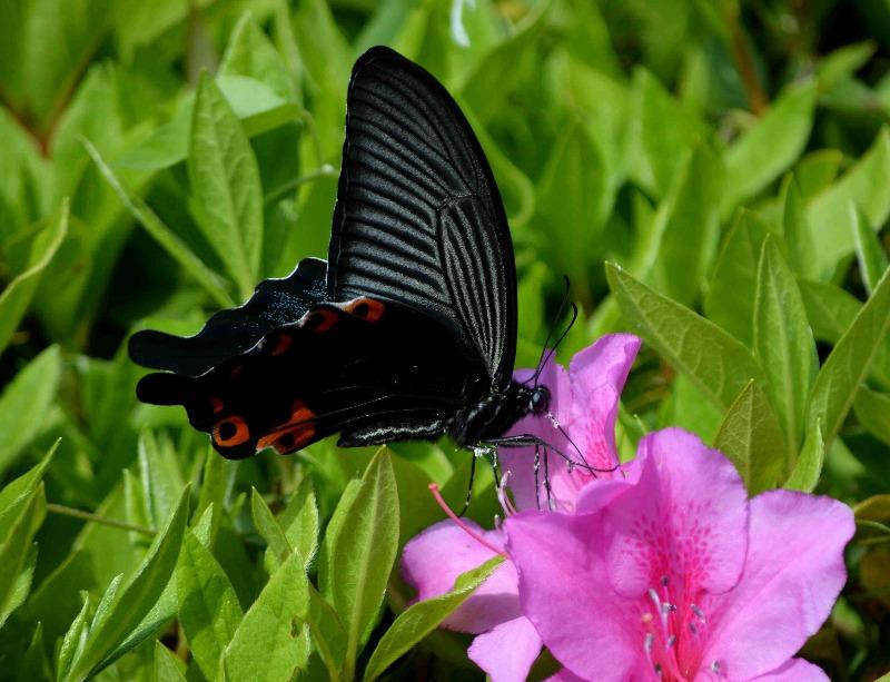 クロアゲハ 5月2日ツツジの咲く公園にて_d0254540_14522288.jpg