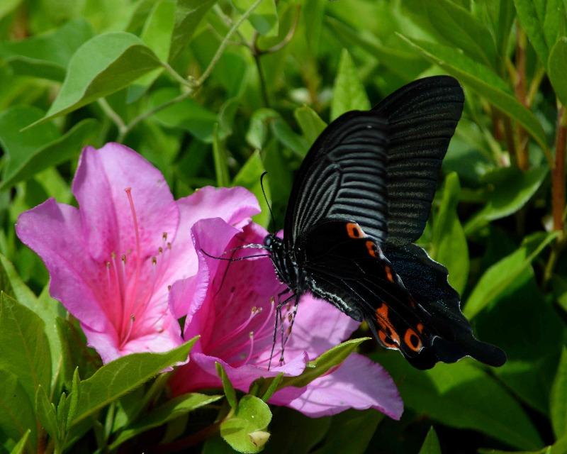 クロアゲハ 5月2日ツツジの咲く公園にて_d0254540_14525553.jpg
