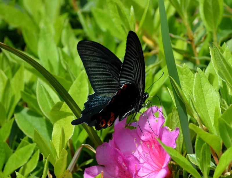 クロアゲハ 5月2日ツツジの咲く公園にて_d0254540_14534913.jpg