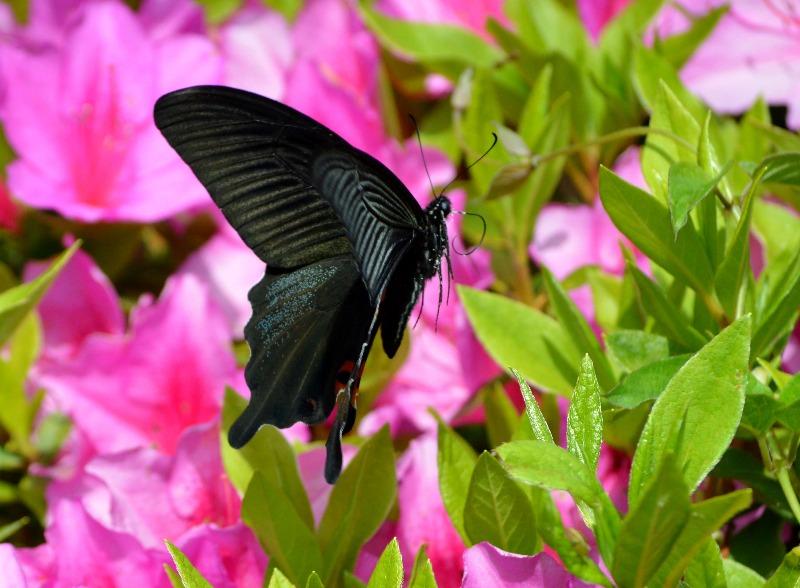 クロアゲハ 5月2日ツツジの咲く公園にて_d0254540_14542121.jpg