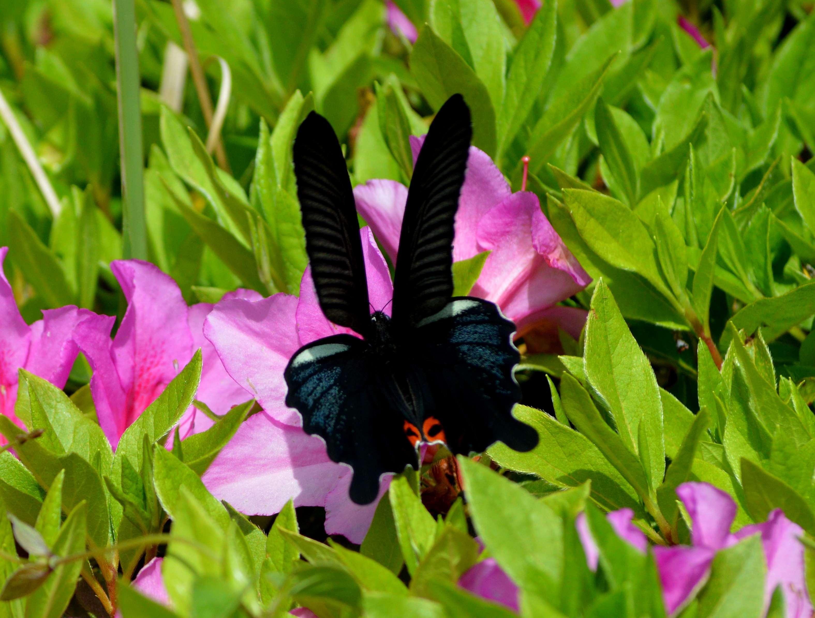 クロアゲハ 5月2日ツツジの咲く公園にて_d0254540_14561097.jpg