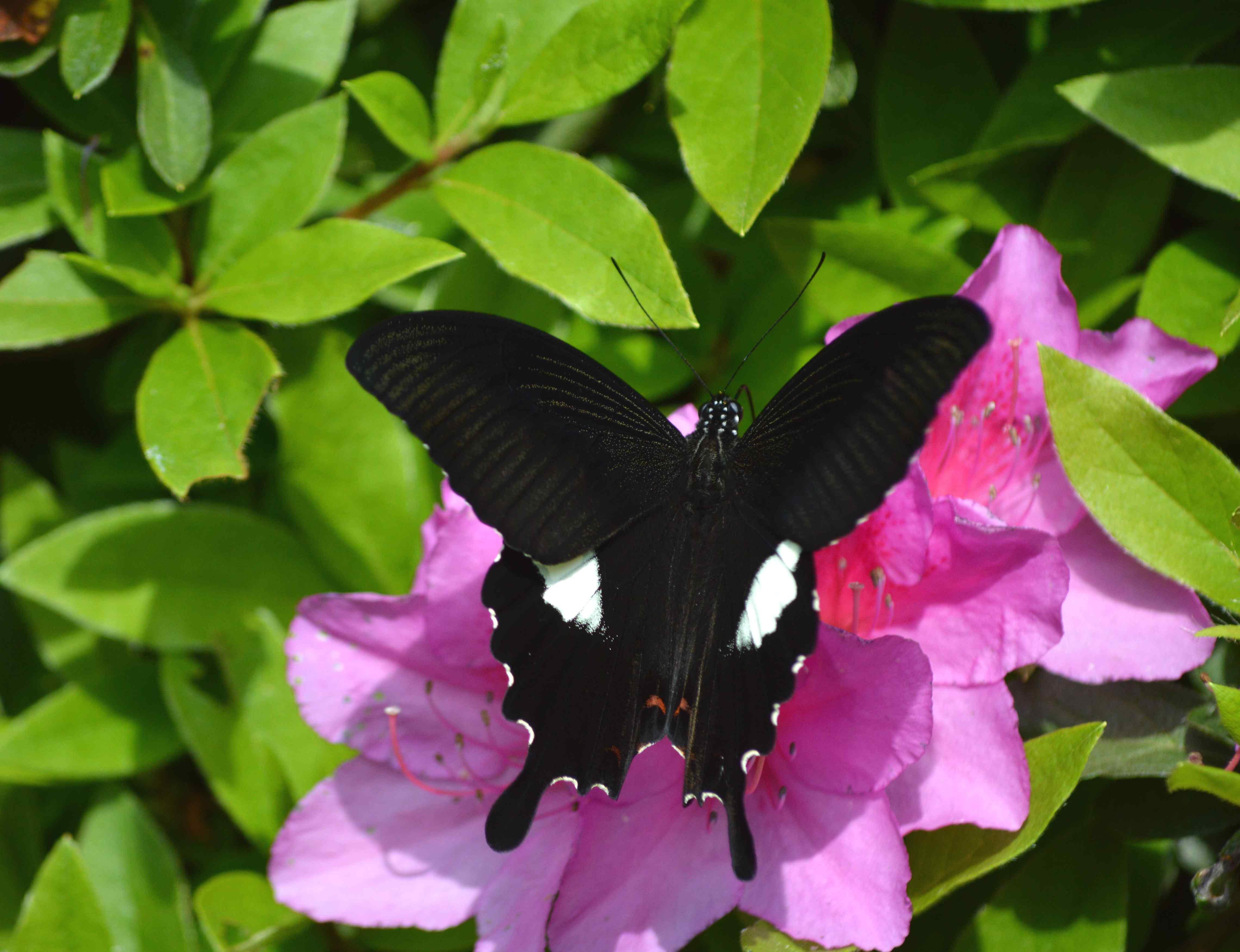 モンキアゲハ 5月2日ツツジの咲く公園にて_d0254540_1541660.jpg