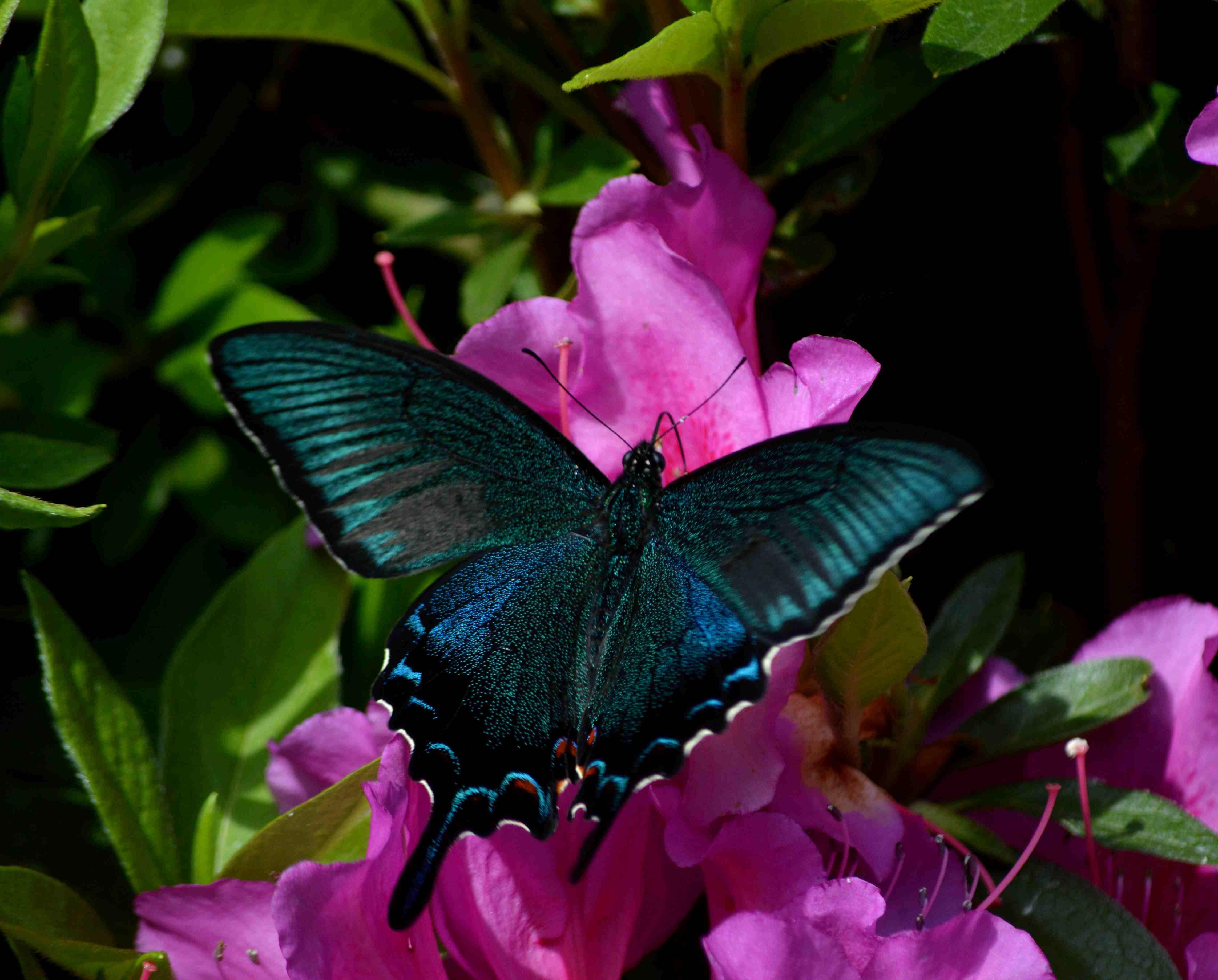 カラスアゲハ 5月2日ツツジの咲く公園にて_d0254540_163407.jpg