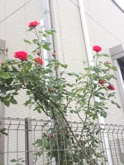 あの!【おばあちゃんの赤い薔薇】が今年も咲き始めました!!_f0340942_18011426.jpg