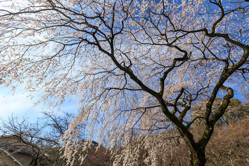 岩屋寺のしだれ桜_f0155048_23123250.jpg