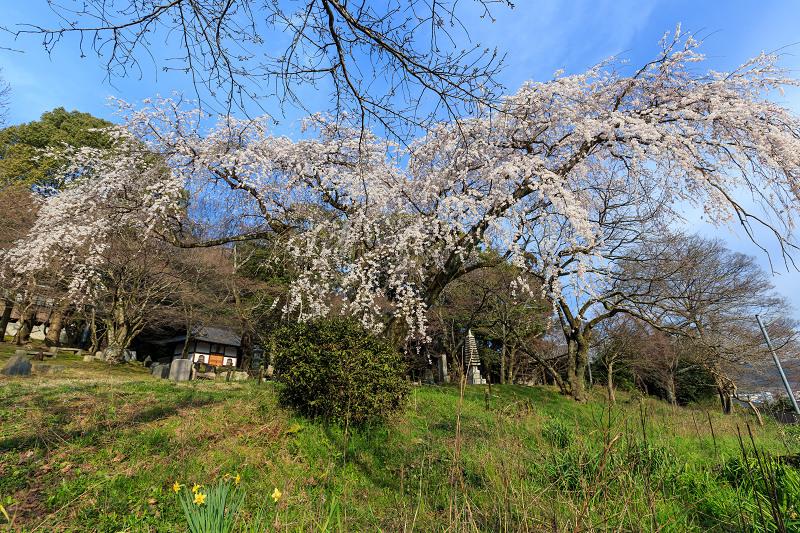 岩屋寺のしだれ桜_f0155048_23151631.jpg
