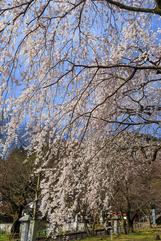岩屋寺のしだれ桜_f0155048_23162649.jpg