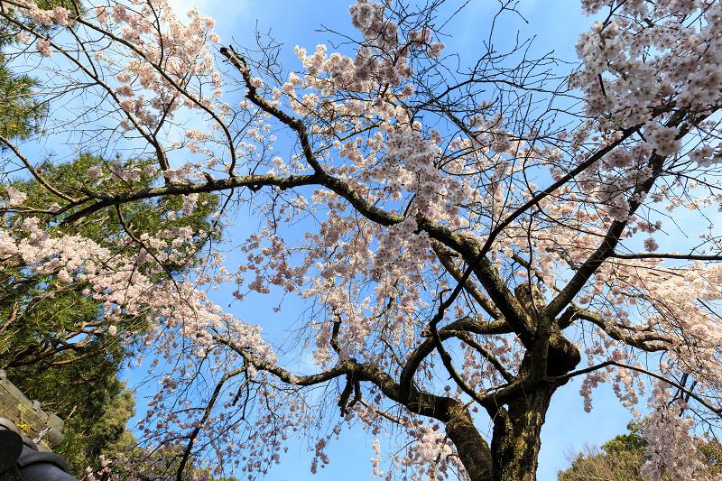 岩屋寺のしだれ桜_f0155048_23181937.jpg