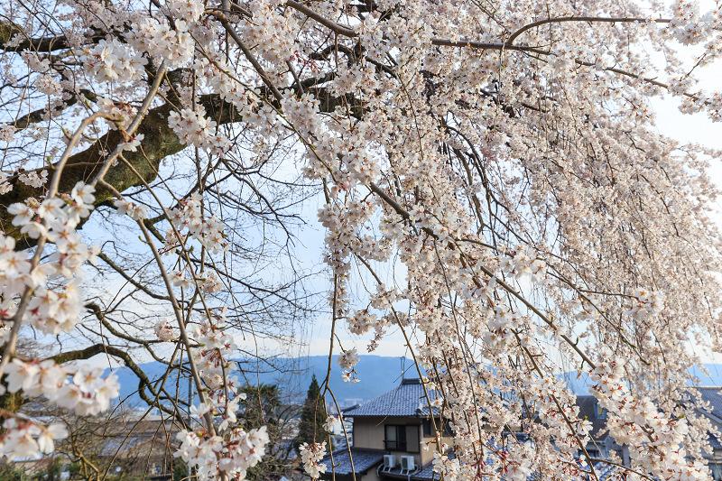 岩屋寺のしだれ桜_f0155048_23182933.jpg