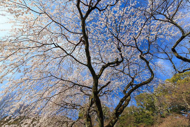 岩屋寺のしだれ桜_f0155048_23185844.jpg