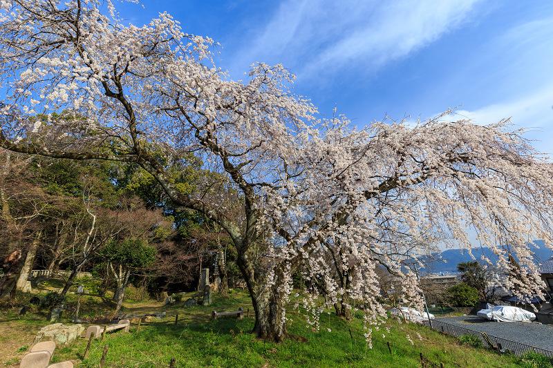 岩屋寺のしだれ桜_f0155048_23191912.jpg