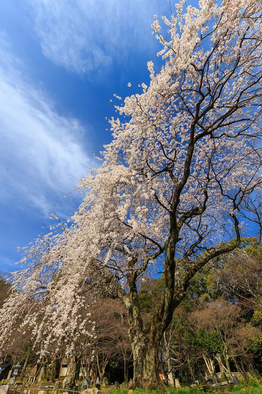 岩屋寺のしだれ桜_f0155048_23192231.jpg
