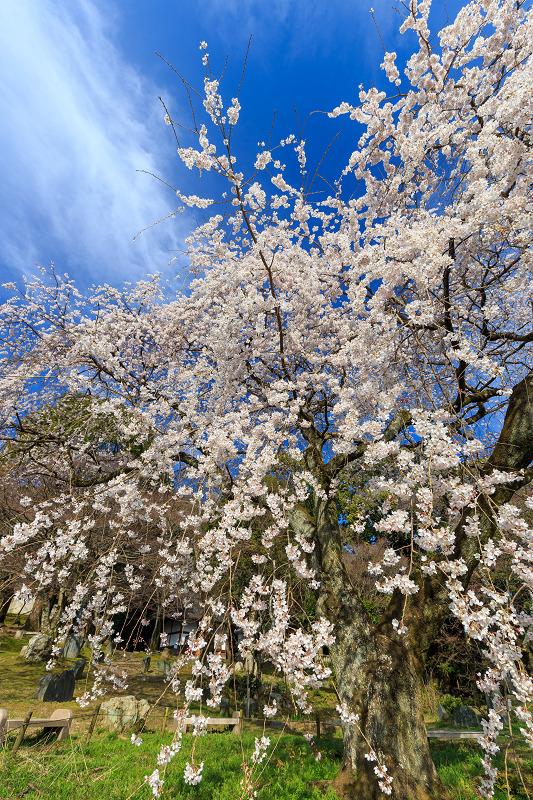 岩屋寺のしだれ桜_f0155048_23194464.jpg
