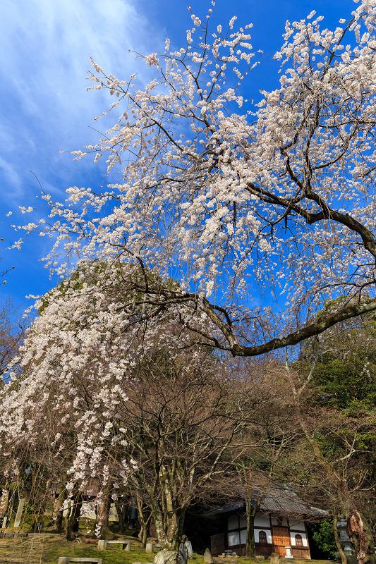 岩屋寺のしだれ桜_f0155048_2320297.jpg