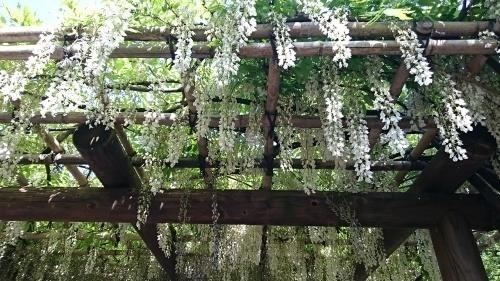 皇居東御苑に藤棚を見にいってきた!_c0100865_10354654.jpg