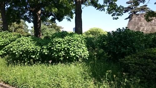 皇居東御苑に藤棚を見にいってきた!_c0100865_10452350.jpg