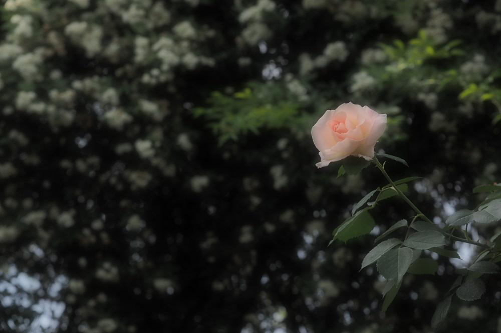 薔薇                        _f0021869_23484374.jpg