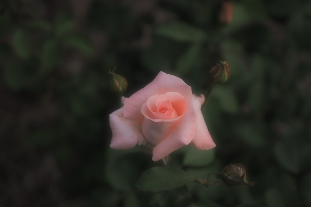 薔薇                        _f0021869_23494675.jpg