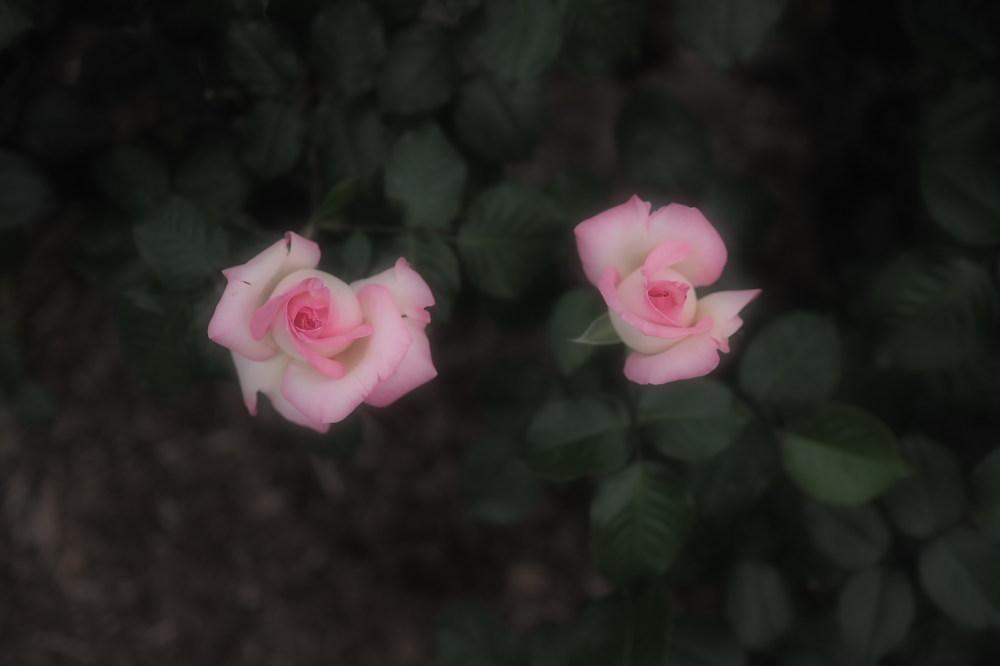薔薇                        _f0021869_2350176.jpg