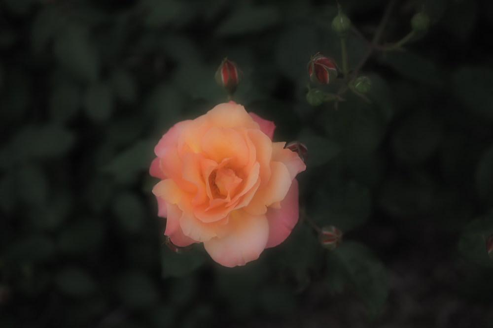 薔薇                        _f0021869_23501824.jpg