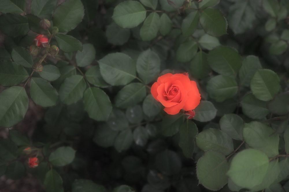 薔薇                        _f0021869_23504917.jpg