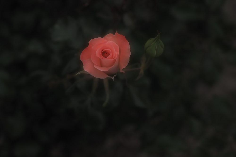薔薇                        _f0021869_2351492.jpg