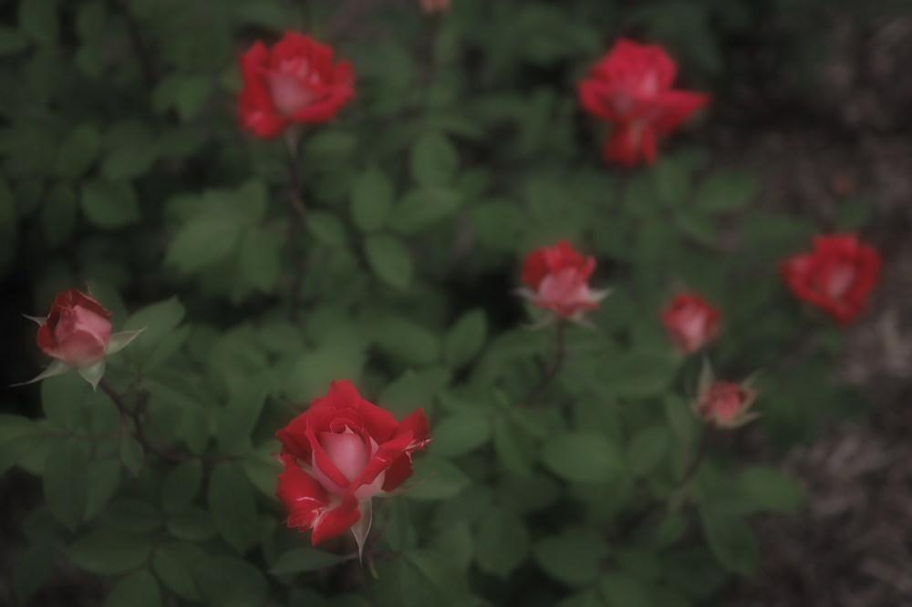 薔薇                        _f0021869_23515590.jpg