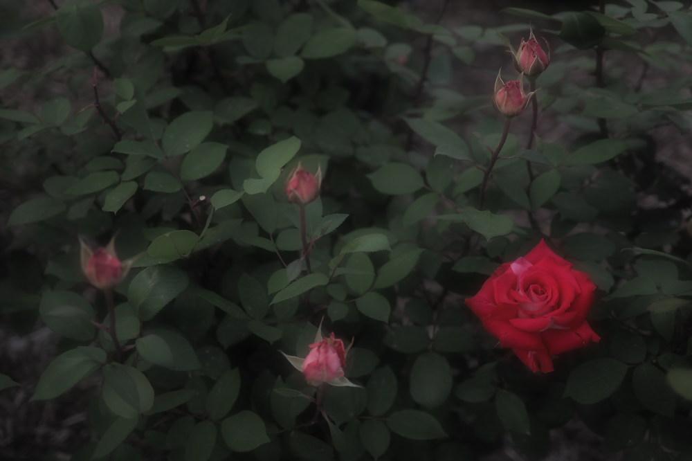 薔薇                        _f0021869_23522414.jpg