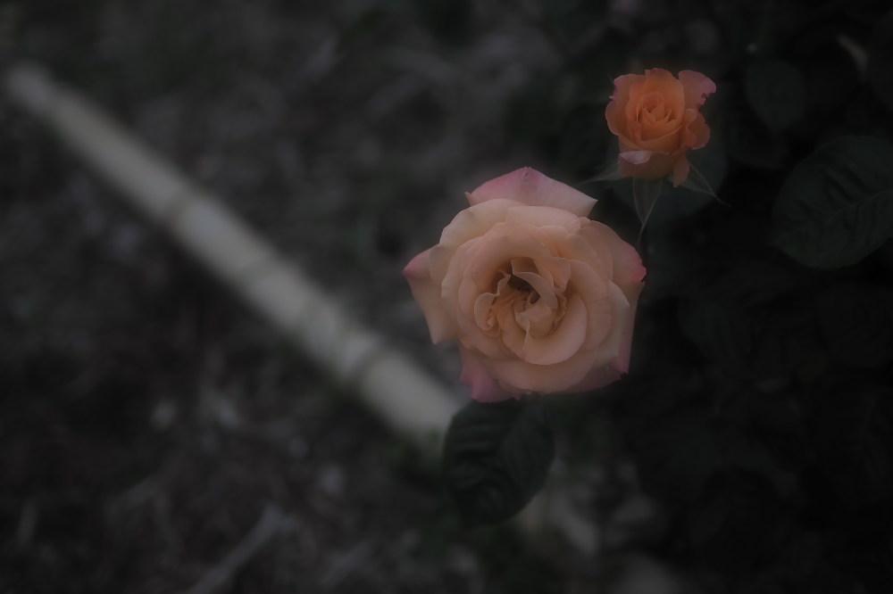 薔薇                        _f0021869_23524384.jpg