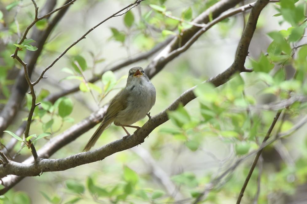 日本三鳴鳥 Ⅱ コマドリ ウグイス_f0053272_23132761.jpg