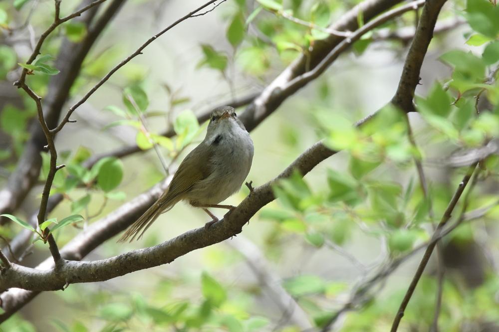 日本三鳴鳥 Ⅱ コマドリ ウグイス_f0053272_23134373.jpg