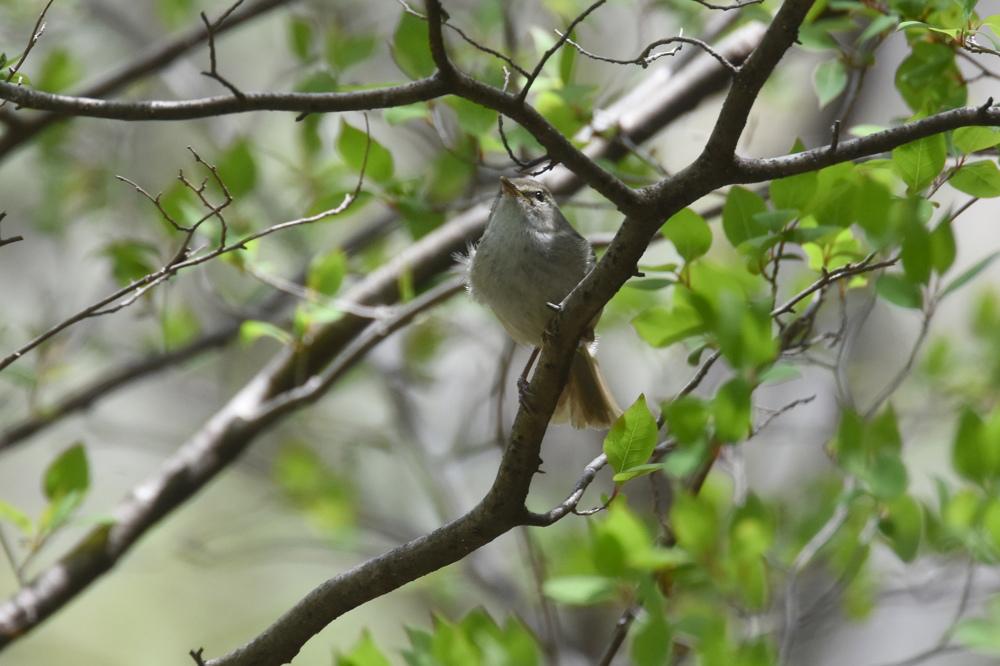 日本三鳴鳥 Ⅱ コマドリ ウグイス_f0053272_2314165.jpg