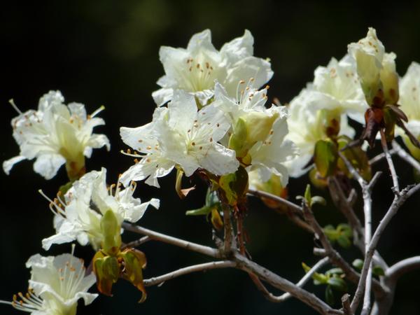 キバナシャクナゲと、今咲いている山野草を少し_a0136293_143813.jpg