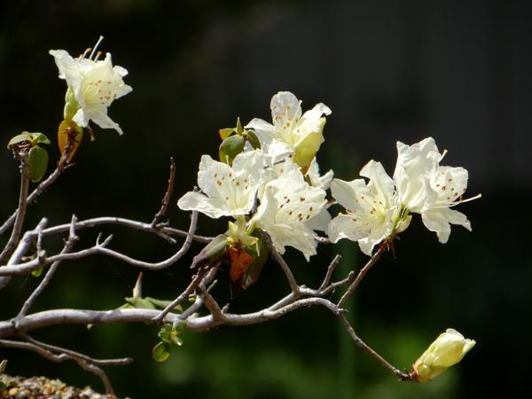 キバナシャクナゲと、今咲いている山野草を少し_a0136293_14381584.jpg