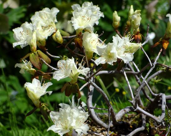 キバナシャクナゲと、今咲いている山野草を少し_a0136293_14444327.jpg