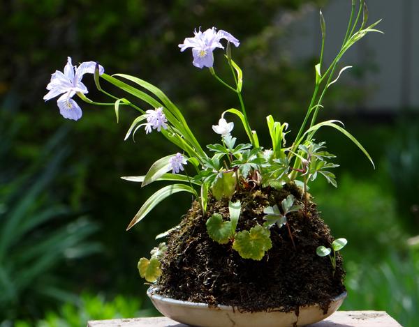 キバナシャクナゲと、今咲いている山野草を少し_a0136293_14473737.jpg