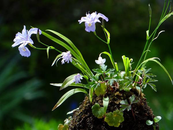 キバナシャクナゲと、今咲いている山野草を少し_a0136293_14485671.jpg