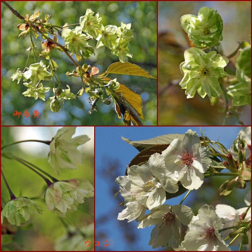 八重桜_d0162994_9325560.jpg