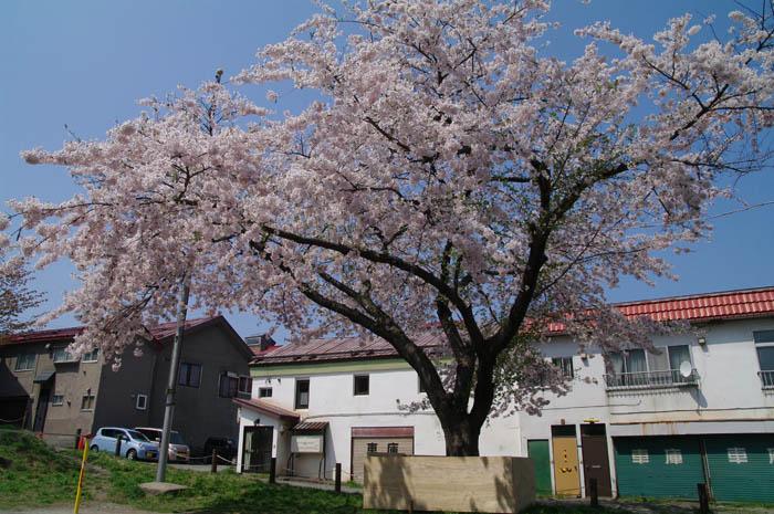 小樽桜めぐり 2015 #5_b0103798_4463051.jpg