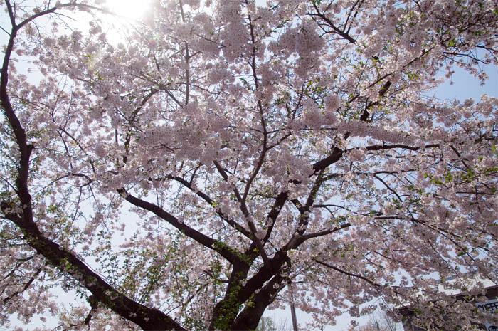 小樽桜めぐり 2015 #5_b0103798_4464671.jpg