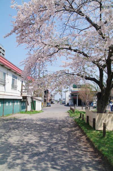 小樽桜めぐり 2015 #5_b0103798_4465580.jpg