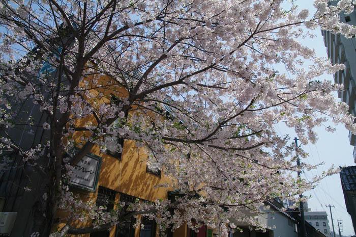小樽桜めぐり 2015 #5_b0103798_4471641.jpg