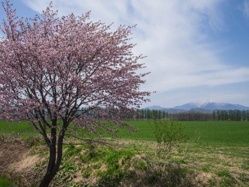 G.W.最終日、村道沿いの一本桜(中札内村)が満開に・・!_f0276498_15555833.jpg