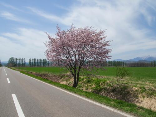 G.W.最終日、村道沿いの一本桜(中札内村)が満開に・・!_f0276498_15562570.jpg