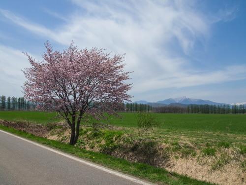 G.W.最終日、村道沿いの一本桜(中札内村)が満開に・・!_f0276498_15572156.jpg