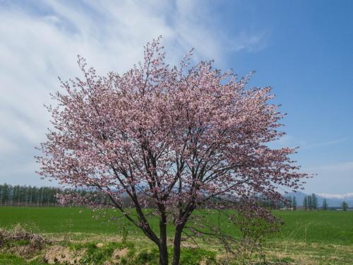 G.W.最終日、村道沿いの一本桜(中札内村)が満開に・・!_f0276498_15575788.jpg