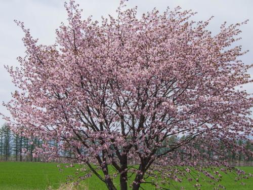 G.W.最終日、村道沿いの一本桜(中札内村)が満開に・・!_f0276498_15582460.jpg